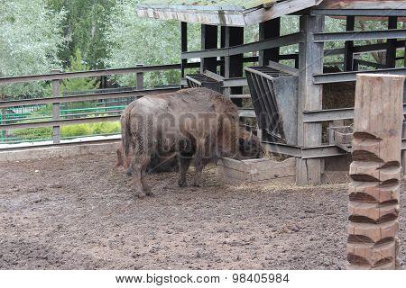 Bison eat