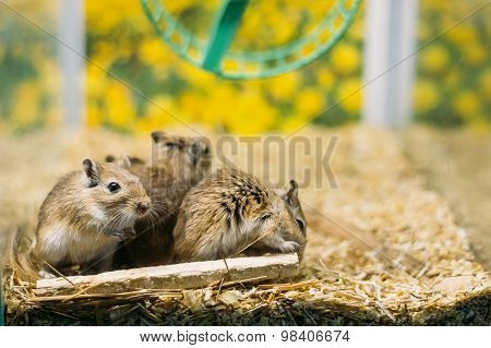Meriones Unguiculatus, The Mongolian Jird Or Mongolian Gerbil