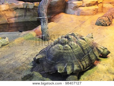 Carapace African Spurred Tortoise
