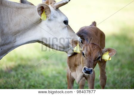 Mother Cow Licks Calf In Meadow
