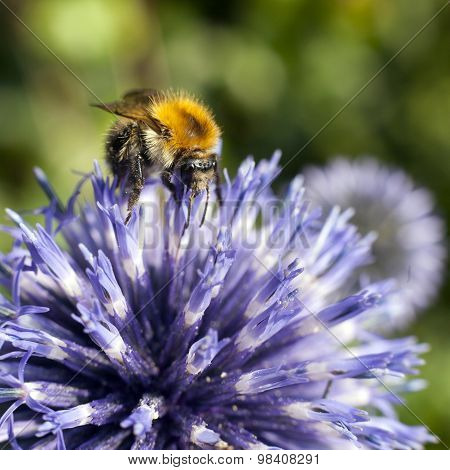 Closeup Of Bumble Bee On Purple Thistle