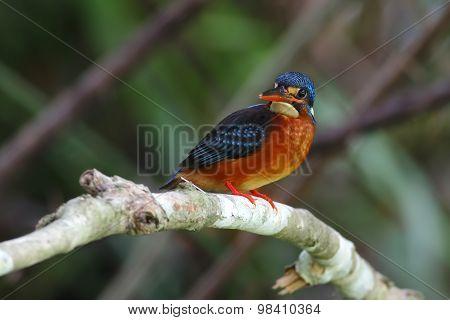 Blue-eared Kingfisher Alcedo Meninting