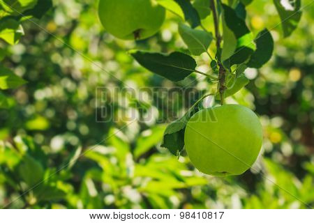 Big Green Apple On The Branch
