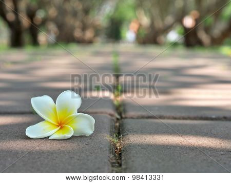 White plumeria on the floor