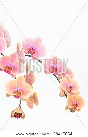 Peach Moth Orchids Close Up