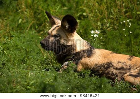cape hunting dog