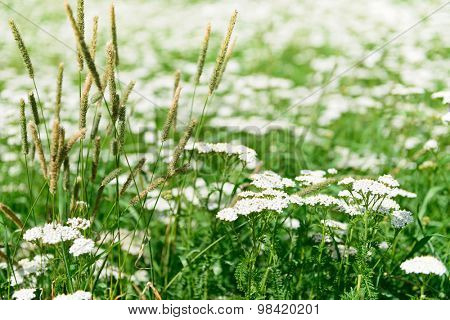 Lush grass flowers natural background