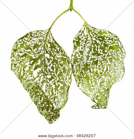 Macro Of Leaves Chewed By Vermin