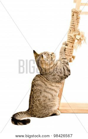 Kitten Scottish Straight sharpening its claws