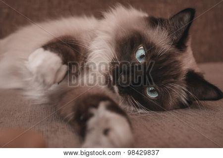 Fluffy Siamese Cat Lying On Sofa