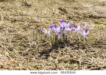 Blooming Group Of Beautiful Flowers - Crocus