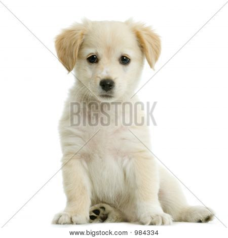 Labrador Retriever Cream