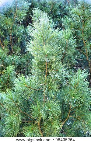 Siberian cedar branches moving in the wind. Siberia. Taiga.