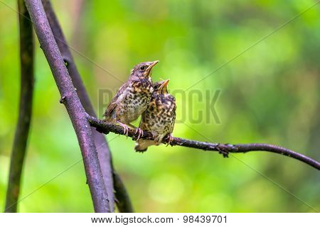 Two Little Chick Sparrow Sitting On A Branch In The Forest
