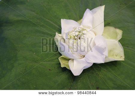 White Lotus Flower Isolate On Lotus Leaf