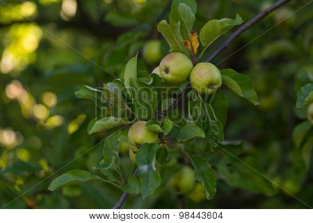 Green Unripe Apples Hanging On Apple Tree