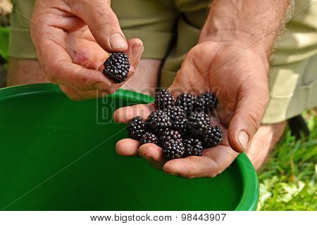 Farmer hands collecting black berries from crop harvest.