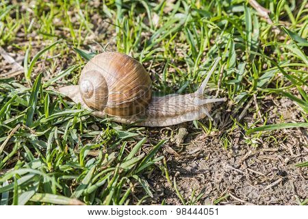 Snail In The Wild