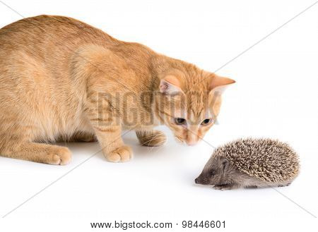 Cat And Hedgehog
