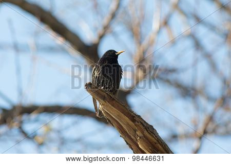 Starling On A Tree