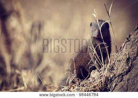 Dwarf Mongoose Family Enjoy Safety Of Their Burrow