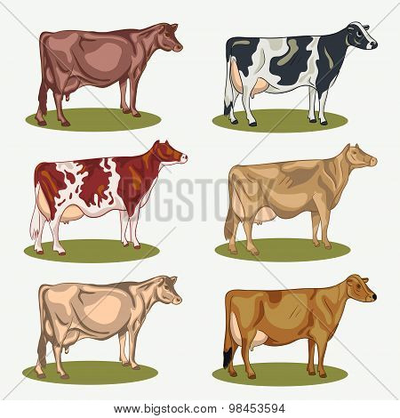 Different cows colors set, isolated. Vector illustration