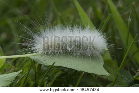 Virginia Tiger Moth Larva