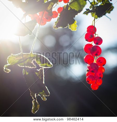 Red Currant Fruits In The Sun