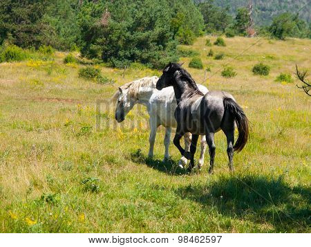 Black and white horses on a pasture
