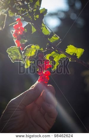 Hand Picks Red Currant Fruits From Branch