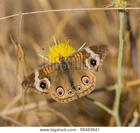 Common Buckeye butterfly feeds from a yellow flower