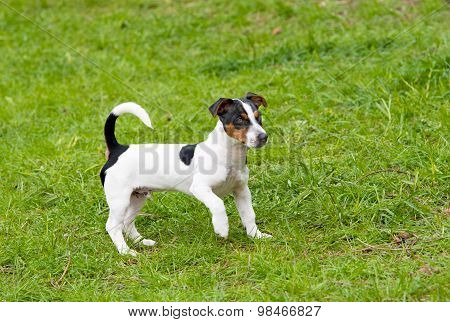 Jack Russell Terrier plays.