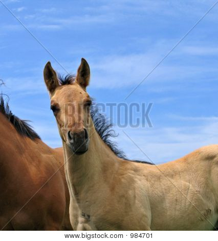 Cute Quarter Horse Foal