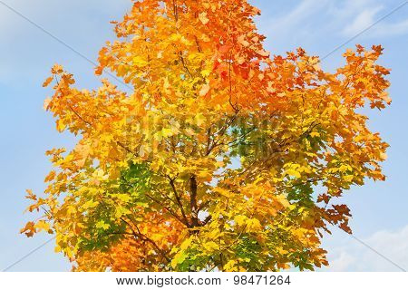 Crown of the maple tree in all autumn colors