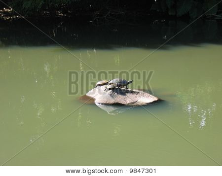 Three Tutles On A Rock On The Middle Of A Tropical River, The Mother With Her Two Childs, Guadeloupe