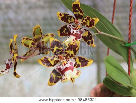 Tiger orchid in the garden