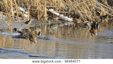Mallards (Anas platyrhynchos) flying over the water