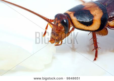 Cockroach Eating