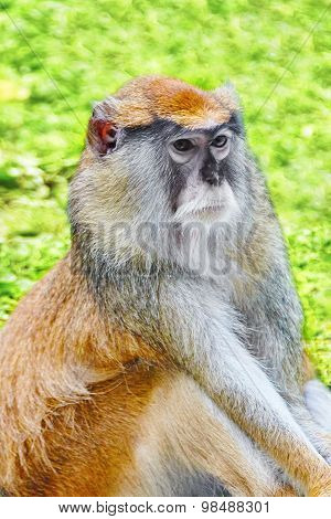 Cute Patas Monkey.