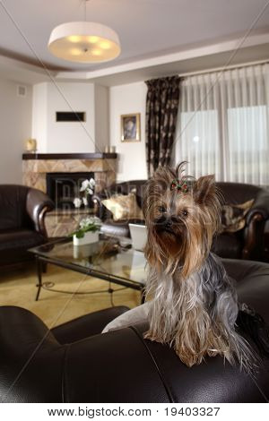 Portrait of a Yorkshire terrier in classical living room