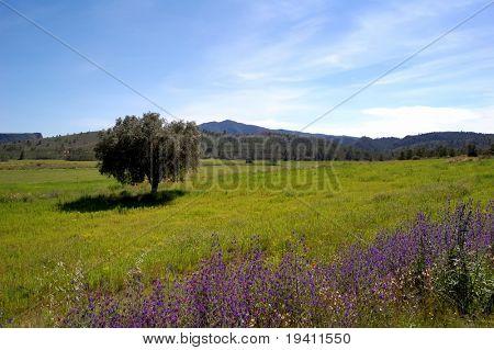 Primavera en España, campo de visión con el viejo olivo, amapolas y flores silvestres