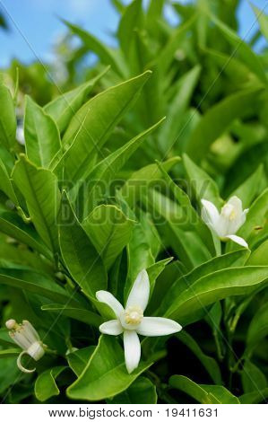 Orange tree detail with white flowers