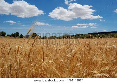 Reife Weizen und blauer Himmel, Ernte-Zeit in Spanien