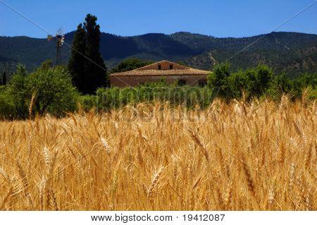 Reife Weizen und blauer Himmel, Mal in Spanisch Bauernhaus mit Windmühle Ernte