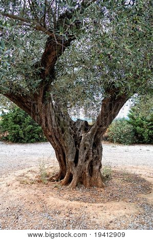 Very old olive tree detail - Spain