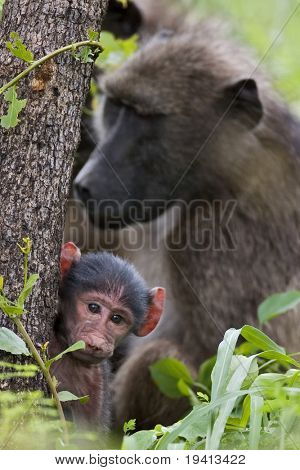 Chacma baboon; papio cynocephalus; South Africa