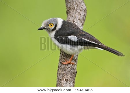 White helmetshrike; prionops plumatus; South Africa