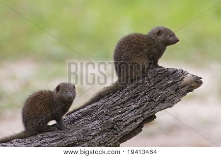 Dwarf Mongoose : Helogale Parvula : South Africa