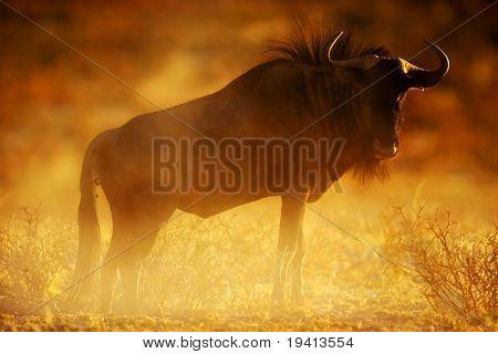 Blue wildebeest : connochaetes taurinus : South Africa : Kalahari dessert