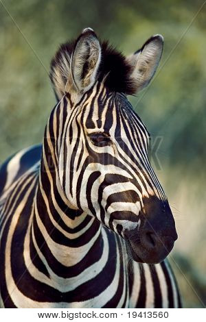 Burchell's zebra : Equus burchelli : South Africa